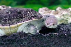 Amfibiska exotiska djura Chelidae i vatten Arkivbild