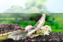 Amfibiska exotiska djura Chelidae i wateru Fotografering för Bildbyråer
