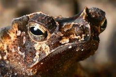 amfibiskt djur krönad tropisk ögonpadda Arkivfoto