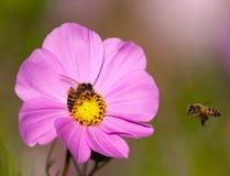 Ami de approche d'abeille Image libre de droits