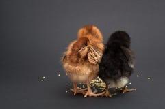 Ami de deux poussins qui a trouvé le millet Images stock