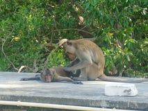 Ami de deux singes Image stock