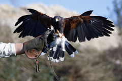 Ami de fauconniers. Photos stock