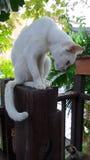 Ami de observation de chat blanc sur le plancher Images stock