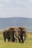 Ami deux Vieux elefants de cratère NgoroNgoro Image stock
