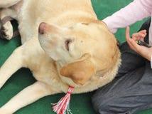 Ami fidèle Labrador Images libres de droits