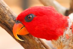Ami mignon de perroquet Photographie stock