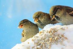 Ami-moineau trois en hiver Image stock