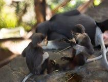 Ami, scimmia che le bambine mangiano, scimmie giocano accanto alla madre Immagini Stock Libere da Diritti