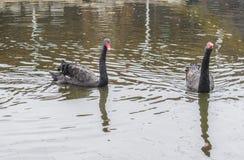 Ami una coppia i cigni neri Una nuotata di due cigni neri nel lago immagine stock libera da diritti
