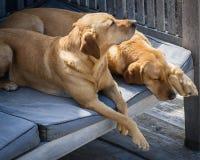 Ami vrai Deux labradors blonds de sommeil Photographie stock libre de droits