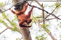 Amiamo l'orango Utans fotografia stock libera da diritti