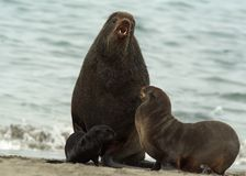 Amicable family of fur seals Stock Photo