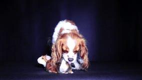 Amici animali Cane e cavia insieme Il cane ama le cavie Amore dell'animale domestico stock footage