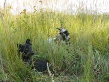 Amici: capra del bambino e del cane fotografia stock libera da diritti