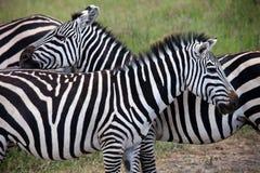 Amici della zebra Fotografie Stock