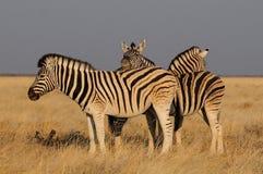 Amici della zebra del ` s di Burchell Fotografia Stock Libera da Diritti
