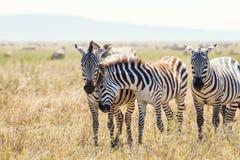 Amici della zebra in Serengeti Tanzania Fotografia Stock Libera da Diritti