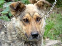 Amico dell'essere umano Sguardo del cane fotografia stock