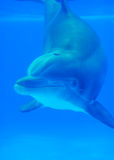 Amico subacqueo Immagini Stock