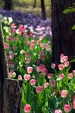 Amid a tulip trail Royalty Free Stock Photography