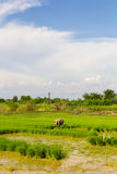 Amidst paddy fields Royalty Free Stock Images