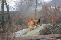 Amies de poulet Image stock
