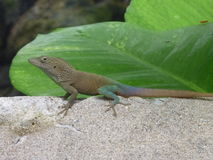 Amigo 2 do lagarto Foto de Stock Royalty Free