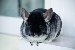 Amigo negro y gris del animal doméstico de la chinchilla en la casa imagen de archivo libre de regalías