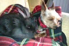 Amigos conejito y del terrier de Yorkshire negros imagenes de archivo