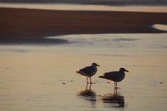 Amigos da gaivota na maré baixa Imagens de Stock Royalty Free