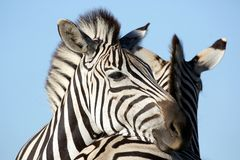 Amigos da zebra Imagens de Stock
