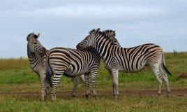 Amigos da zebra Fotografia de Stock