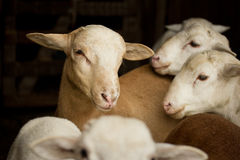 Amigos de las ovejas Fotografía de archivo