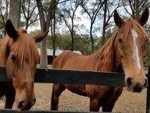 Amigos del caballo Imágenes de archivo libres de regalías