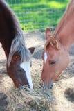 Amigos equinos Imagen de archivo