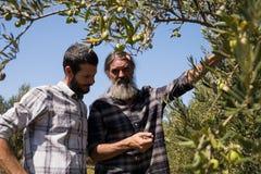 Amigos que interagem ao examinar a azeitona na planta imagem de stock
