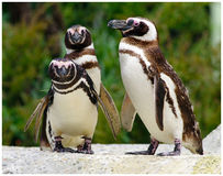 The 3 Amigos. Three Penguins being curious and observantn Stock Photos