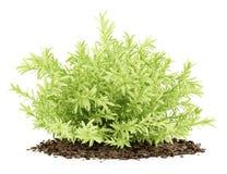 Amincissez l'usine de sedum de feuilles d'isolement sur le blanc Photos stock