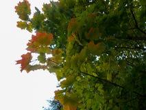 amincissez le jeune tronc du chêne, par les branches avec le jaune lumineux Image stock