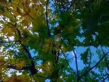 amincissez le jeune tronc du chêne, par les branches avec le jaune lumineux Images libres de droits