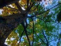 amincissez le jeune tronc du chêne, par les branches avec le jaune lumineux Photo libre de droits
