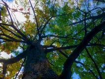 amincissez le jeune tronc du chêne, par les branches avec le jaune lumineux Photographie stock libre de droits