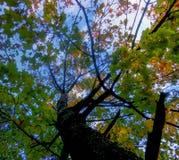 amincissez le jeune tronc du chêne, par les branches avec le jaune lumineux Photos libres de droits