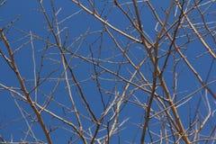 Amincissez les branches d'arbre élégantes avec le ciel bleu profond sur le fond Image stock