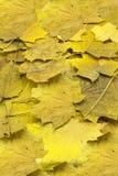 Amincissez les graines sèches d'érable et le feuillage jauni pendant le feuillage d'automne, plan rapproché en nature Images stock
