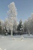 Amincissez les hauts bouleaux parmi le verger avec des sapins dans la neige profonde Image stock