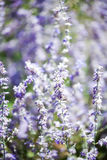 Amincissez longtemps les fleurs pourpres incroyablement belles Photographie stock libre de droits