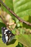 Amiral blanc du sud Butterfly Photo libre de droits