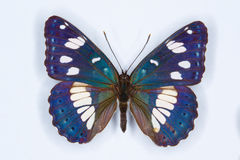 Amiral blanc du sud, papillon de reducta de Limenitis Photo libre de droits